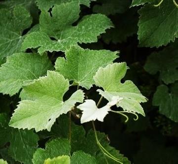 Vitis vinifera 'Incana'