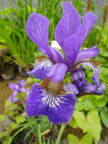 Iris sibirica 'Blue King' (Kosaciec syberyjski) - C2