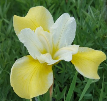 Iris sibirica 'Chartreuse Bounty' (Kosaciec syberyjski) - C2