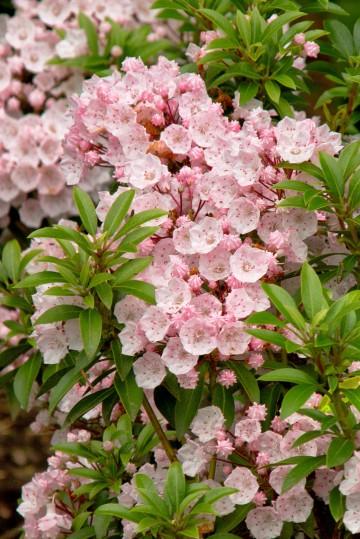 Kalmia latifolia 'Elf' (Kalmia szerokolistna) - C3