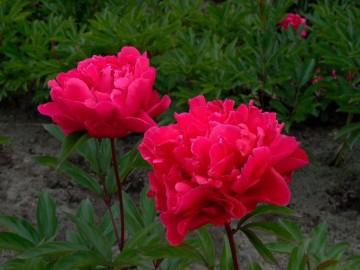 Paeonia lactflora 'Victoire de la Marne' (Piwonia chińska) - C5