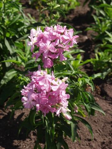 Saponaria officinalis 'Rosea Plena' (Mydlnica lekarska) - C5