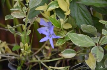 Vinca minor 'Blue Sapphire' (Barwinek pospolity) - P9