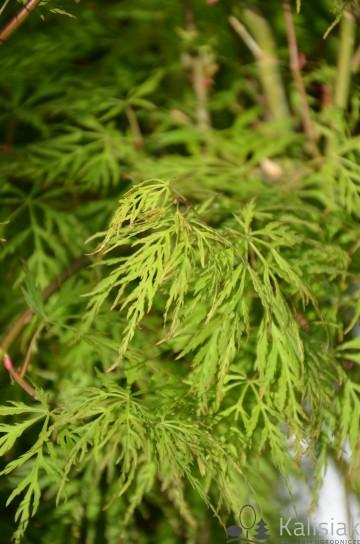 Acer palmatum 'Dissectum' (Klon palmowy) - C5 bonsai