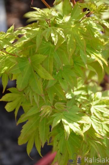 Acer palmatum 'Sango-kaku' (Klon palmowy) - C5 bonsai