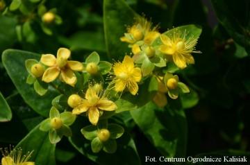 Hypericum inodorum MAGICAL SUNSHINE 'Kolmasun'