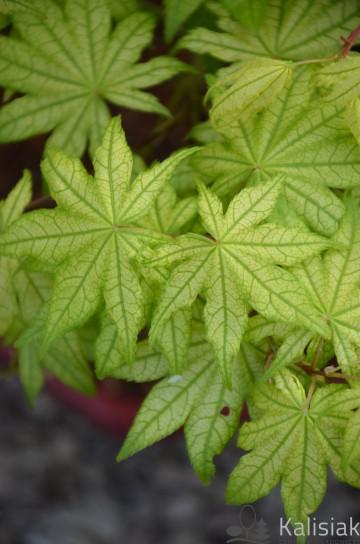 Acer palmatum 'Shigitatsu Sawa' (Klon palmowy) - C5 bonsai