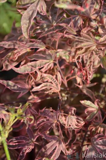 Acer palmatum 'Shirazz' (Klon palmowy) - C5 bonsai