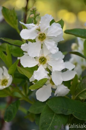 Exochorda serratifolia 'Snow White' (Obiela piłkowana) - C5