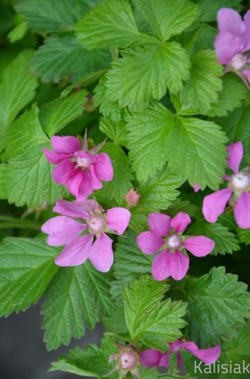 Rubus arcticus 'Beata' (Jeżyna arktyczna, Malina tekszla) - C2