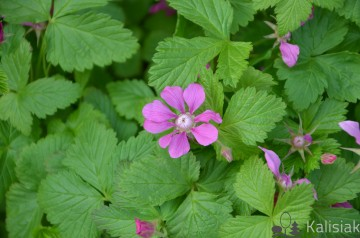 Rubus arcticus 'Marika' (Jeżyna arktyczna, Malina tekszla) - C2