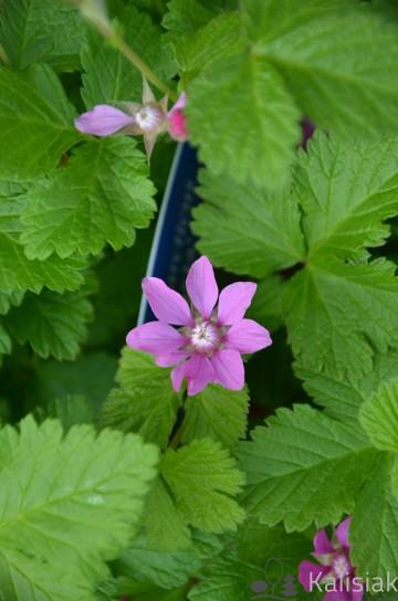 Rubus arcticus 'Tarja' (Jeżyna arktyczna, Malina tekszla) - C2