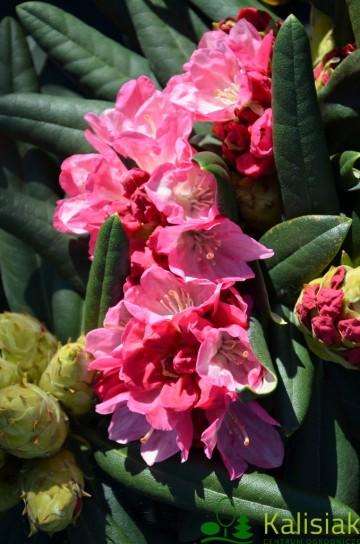 Rhododendron 'Fantastica' (Różanecznik) - C4