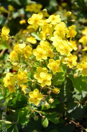 Waldsteinia ternata (Pragnia syberyjska) - C2