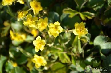 Waldsteinia ternata 'Forest Sun' (Pragnia syberyjska) - C2