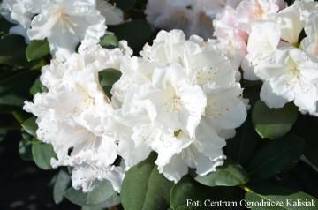 Rhododendron 'Schneekrone' (Różanecznik) - C4