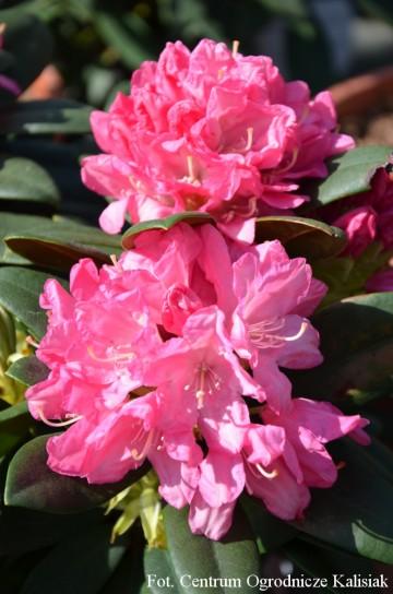 Rhododendron ROYAL CANDY 'Królowa Bona' (Różanecznik) - C4
