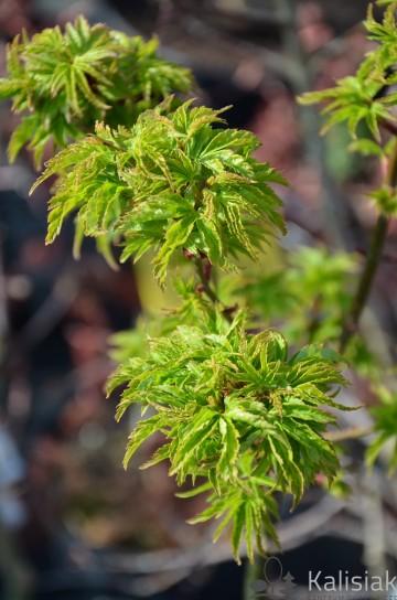 Acer palmatum 'Shishigashira' (Klon palmowy) - C5 bonsai