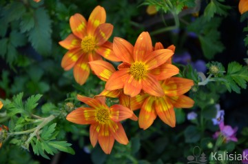 Bidens 'Beedance Painted Red' (Uczep)  - AN10
