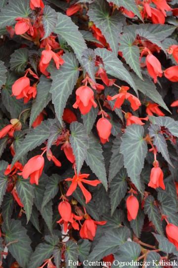 Begonia Summerwings 'Dark Elegance' (Begonia) - AN10