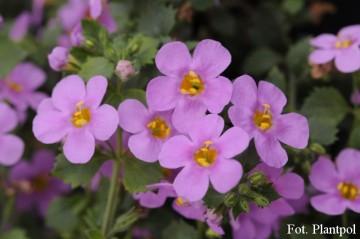 Bacopa Sutera różowa (Bakopa) - AN10
