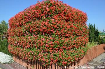Pelargonium peltatum 'Ville de Paris Rot' (Pelargonia zwisająca) - AN12