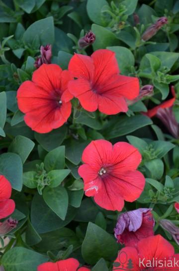 Petunia 'Veranda Scarlet' (Petunia) - AN12