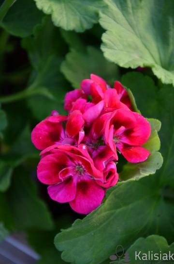 Pelargonium zonale 'Flower Fairy Berry' (Pelargonia rabatowa) - AN12