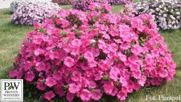 Petunia Conchita 'Grande Pink' (Petunia) - AN12