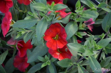 Calibrachoa Superbells czerwony (Millionbells) - AN10