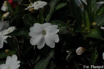 Impatiens SunPatiens 'Compact White' (Niecierpek) - AN12