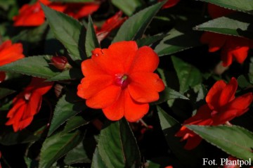 Impatiens SunPatiens 'Compact Orange' (Niecierpek)  - AN12