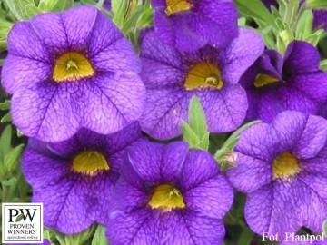Calibrachoa Superbells niebieski (Millionbells) - AN10
