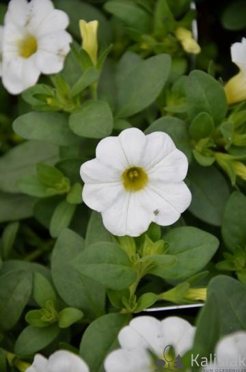 Calibrachoa Superbells biały (Millionbells) - AN10