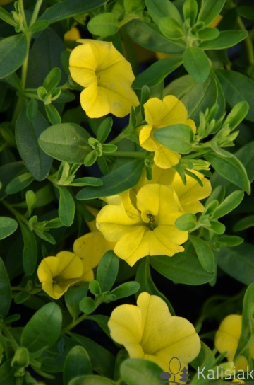 Calibrachoa Superbells żółty (Millionbells) - AN10