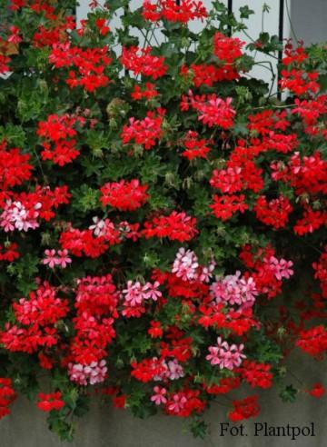 Pelargonium peltatum czerwona (Pelargonia zwisająca) - AN12