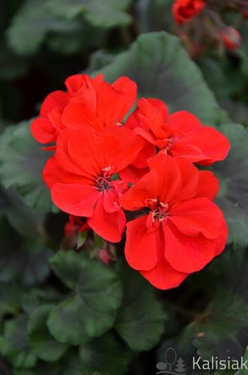 Pelargonium zonale czerwona (Pelargonia rabatowa) - AN12