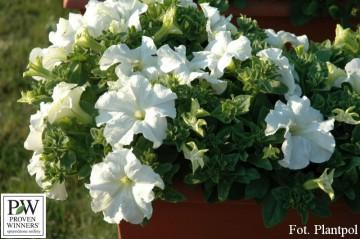 Petunia Conchita 'Grande White' (Petunia) - AN12