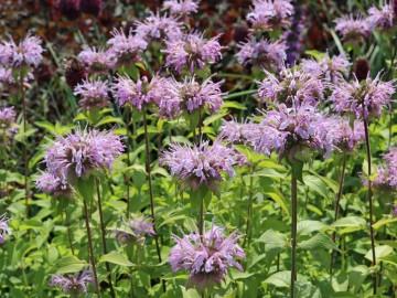 Monarda fistulosa 'Elsie's Lavender' (Pysznogłówka dęta) - C2