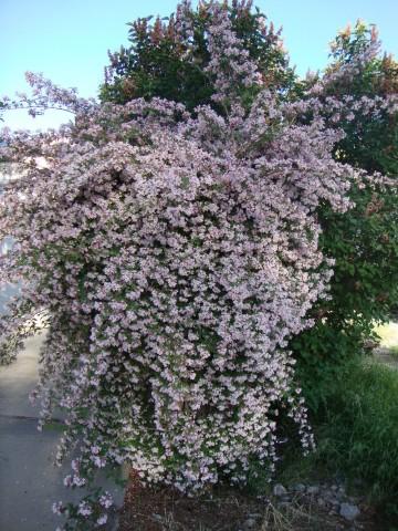Kolkwitzia amabilis 'Pink Cloud' (Kolkwicja chińska) - C2