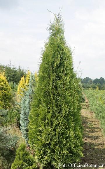 Thuja occidentalis 'Brabant' (Żywotnik zachodni) - C3