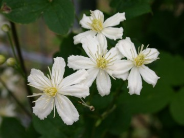 Clematis SUMMER SNOW 'Paul Farges'