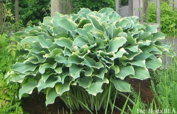 Hosta 'Regal Splendor' (Funkia)  - C1,5