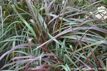 Pennisetum 'Vertigo' (Rozplenica słoniowa) - C2,5