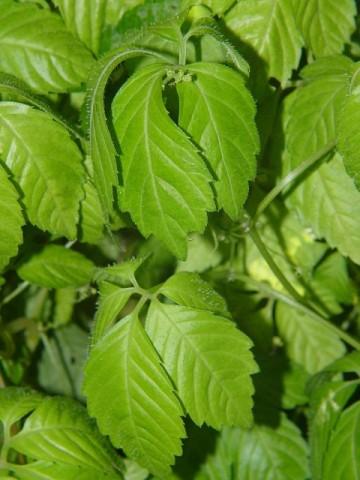 Gynostemma pentaphyllum jiaogulan