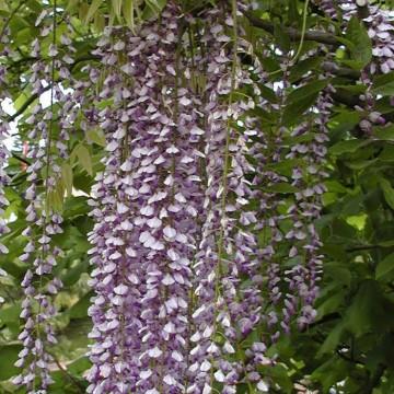 Wisteria floribunda 'Murasaki-noda' (Glicynia kwiecista) - C2