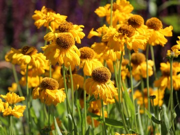 Helenium bigelowii 'The Bishop' (Dzielżan Bigelowa)  - C3
