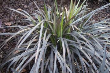 Ophiopogon planiscapus 'Niger' (Konwalnik płaskopędowy) - P17
