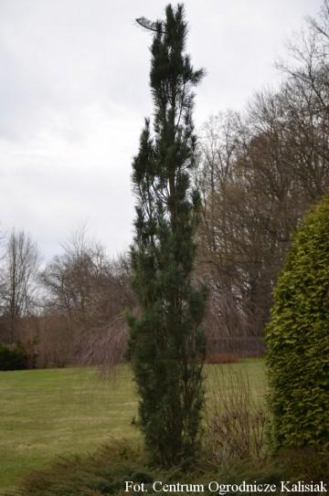 Pinus sylvestris 'Fastigiata' (Sosna pospolita) - C5
