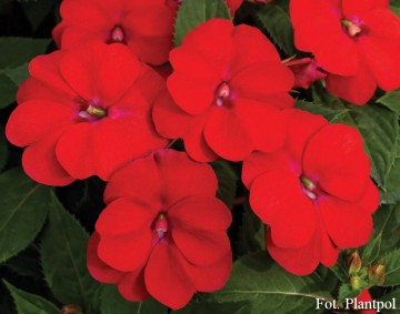 Impatiens SunPatiens 'Vigorous Scarlet Red' (Niecierpek) - AN12
